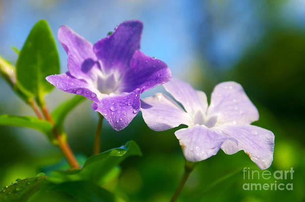 Abstract Art Print featuring the photograph Drops On Violets by Carlos Caetano