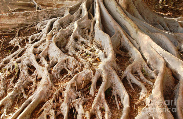 Roots Print featuring the photograph Fig Tree Roots In Balboa Park by Anna Lisa Yoder