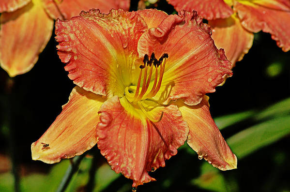 Blossom Art Print featuring the photograph Fly On The Daylily by Linda Brown