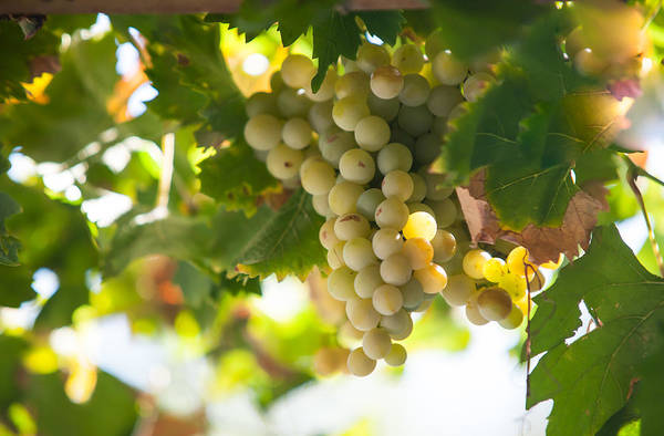 Grape Art Print featuring the photograph Harvest Time. Sunny Grapes Iv by Jenny Rainbow