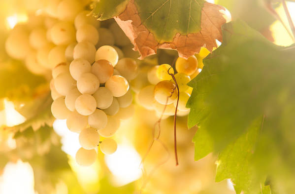 Grape Art Print featuring the photograph Harvest Time. Sunny Grapes Vi by Jenny Rainbow
