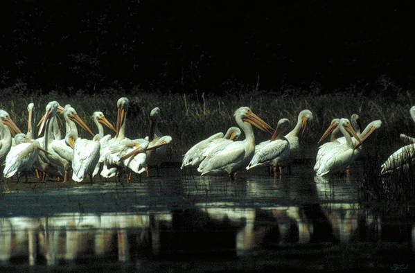 Pelicans Art Print featuring the photograph High Society by Jon Lord