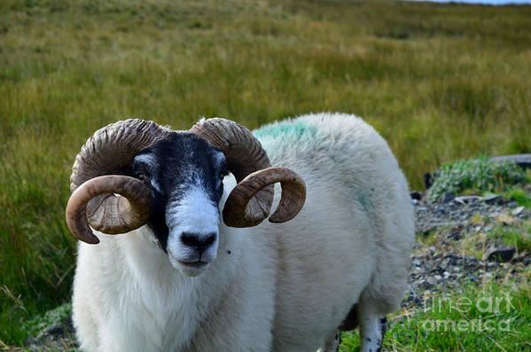 Sheep Art Print featuring the photograph Highland Sheep by DejaVu Designs