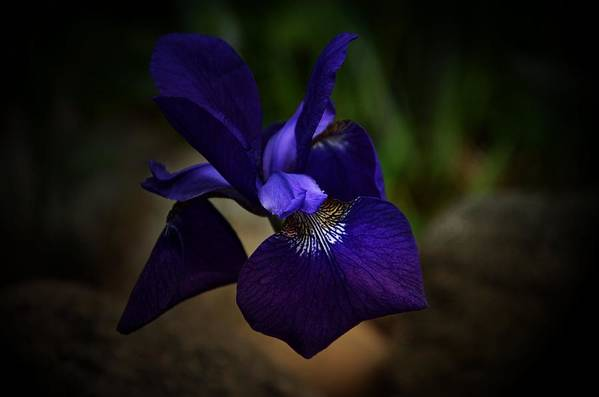 Nature Art Print featuring the photograph Iris by Ricardo Dominguez