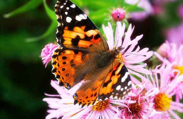 Flower Art Print featuring the photograph Late Summer Painted Lady by Marilyn Hunt