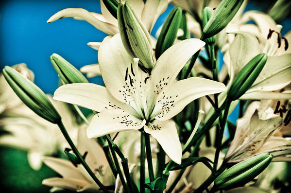 Lily Art Print featuring the pyrography Lilies In White by Shirley Tinkham