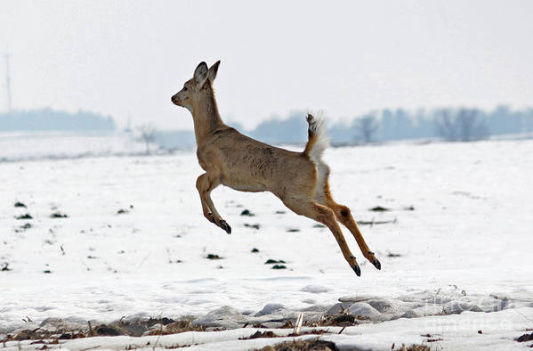 Deer Art Print featuring the photograph Look I Am Flying by Lori Tordsen