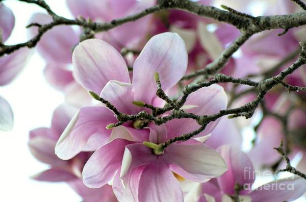 Magnolia Art Print featuring the photograph Magnolia by Cindy Rohde