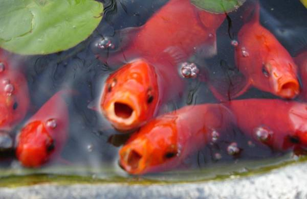 Goldfish Art Print featuring the photograph 'ofishally Hungry by Melissa Penny