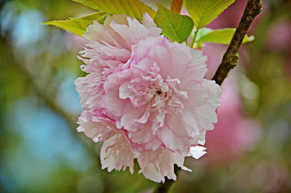 Flowers Art Print featuring the photograph Pale Pink Blossoms by Linda Brown