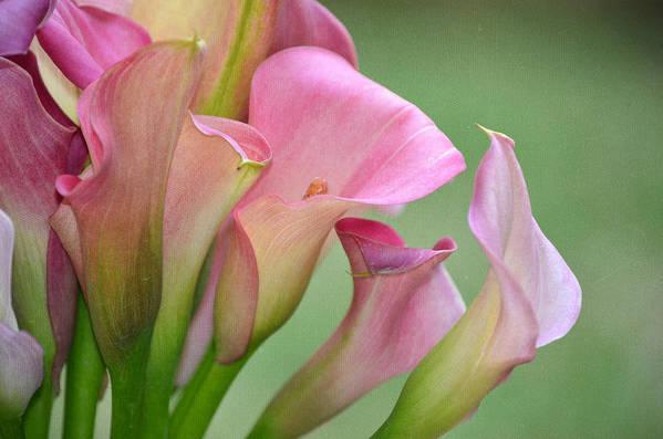 Calla Lilies Art Print featuring the photograph Pale Pink Blush by Fraida Gutovich