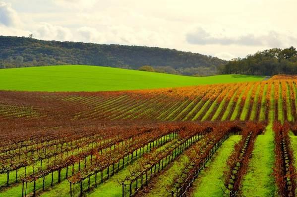 Vineyard Art Print featuring the photograph Pastoral Vineyards Of Asti by Antonia Citrino