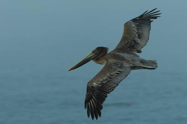 Dusk Art Print featuring the photograph Pelican by Sebastian Musial
