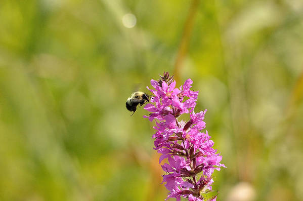 Bee Art Print featuring the photograph Pink And Gold by David Porteus
