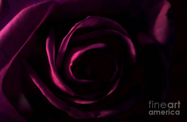 Rose Art Print featuring the photograph Rose And Shadows by Robin Lynne Schwind
