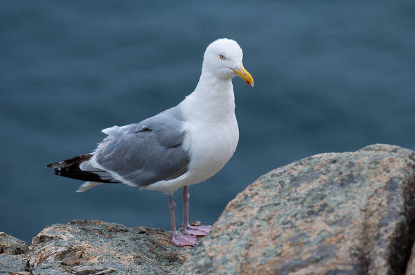 Acadia National Park Art Print featuring the photograph Seagull by Sebastian Musial