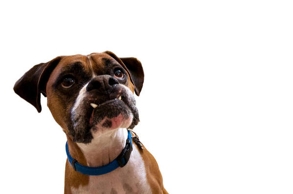 Boxer Art Print featuring the photograph Silly Boxer Dog by Stephanie McDowell