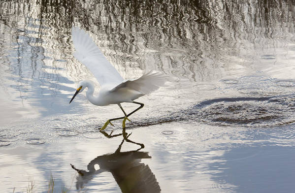 Nature Art Print featuring the photograph Snowy Egret Gliding Across The Water by John M Bailey