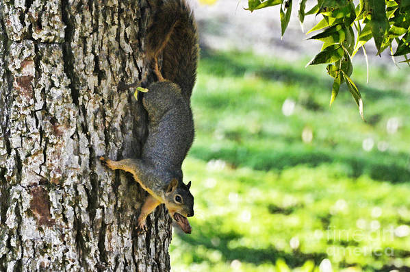 Nature Art Print featuring the photograph Squirrel With Pecan by Debbie Portwood