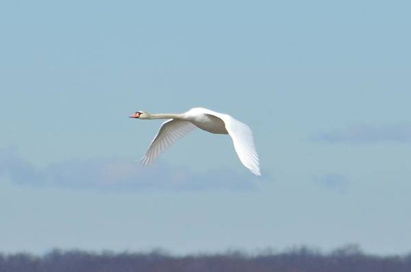Swan Art Print featuring the photograph Swan by Judd Nathan