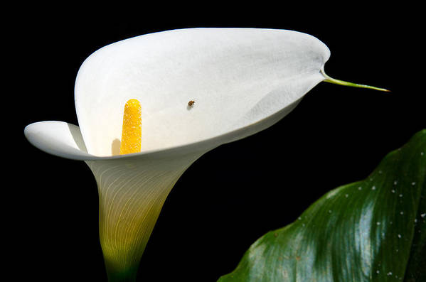 Calla Lily Art Print featuring the photograph Taking A Walk On A Lily by Camille Lopez