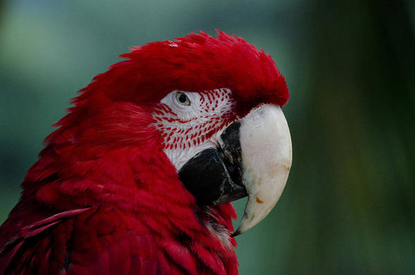 Macaw Art Print featuring the photograph The Macaw by Lukasz Hradecki