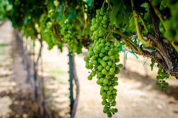 Grapes Art Print featuring the photograph The Vineyard by David Morefield