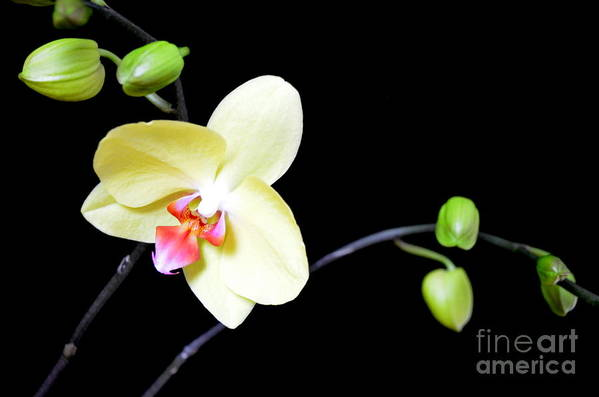 Orchid Art Print featuring the photograph Tomorrow's Promises - No 1 by Mary Deal