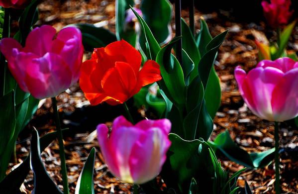 Tulips Art Print featuring the photograph Tulips. Arlington Cemetery by Bill Jonscher