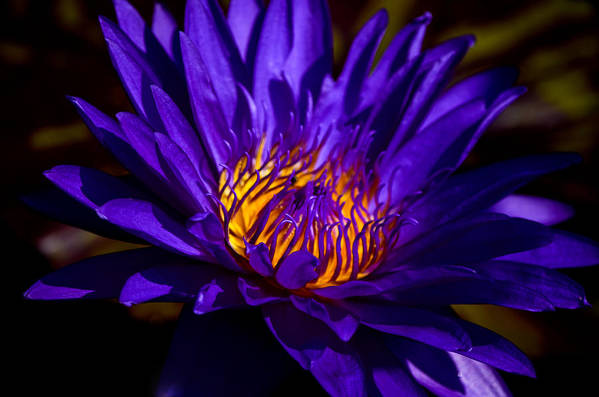 Aquatic Flower Art Print featuring the photograph Water Lily 7 by Julie Palencia