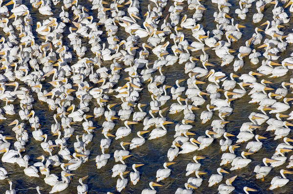White Art Print featuring the photograph White Pelican Party by Patrick M Lynch