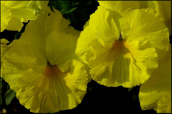 Pansies Art Print featuring the photograph Yellow Pansies by James C Thomas