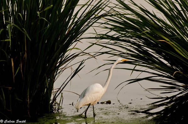 Art Print featuring the photograph Egret by Calvin Smith