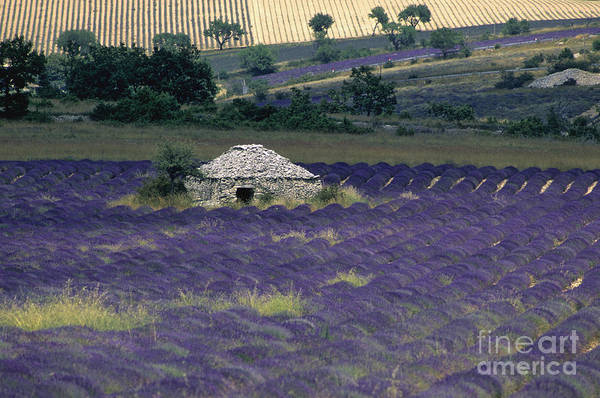 Touristic Art Print featuring the photograph Field Of Lavender. Sault by Bernard Jaubert