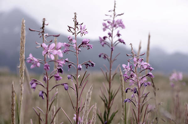 Art Photography Art Print featuring the photograph Fireweed In A Sea Of Grass by Franklin Jeffers