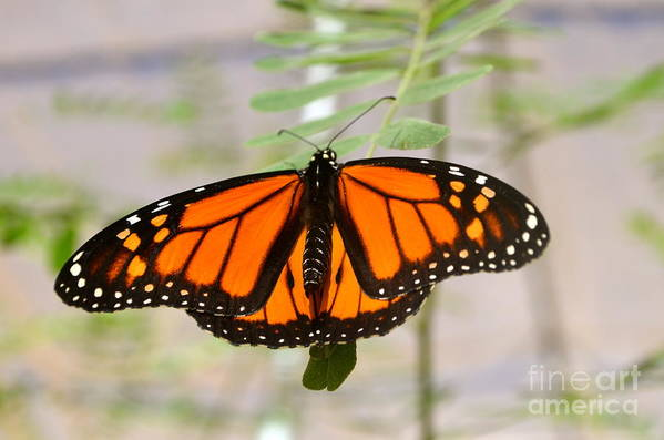 Monarch Butterfly Photographs Art Print featuring the photograph Monarch Majesty by Johanne Peale