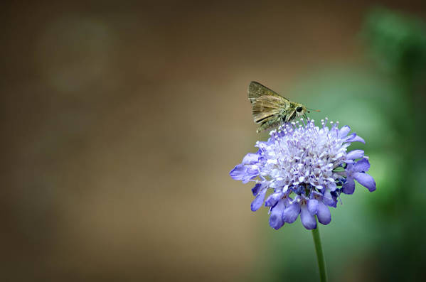 Skipper Moth Art Print featuring the photograph 1205-8785 Skipper On A Butterfly Blue Pincushion Flower by Randy Forrester