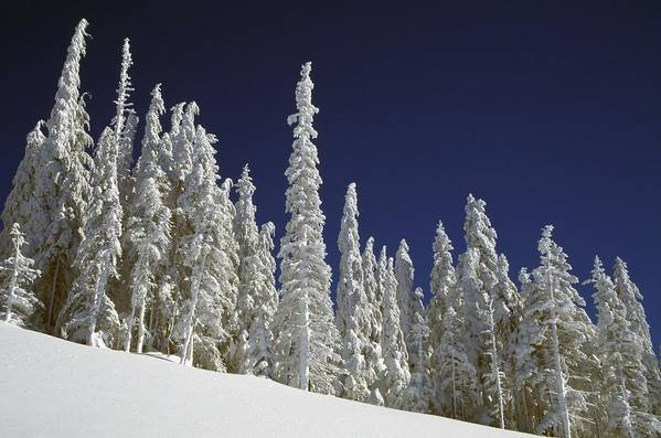Winter Print featuring the photograph Snow-covered Pine Trees by Natural Selection Craig Tuttle