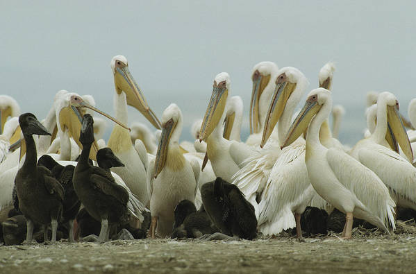 Pelecanus Onocrotalus Art Print featuring the photograph A Group Of Eastern White Pelicans by Klaus Nigge