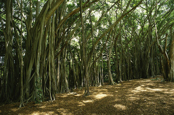 Plants Print featuring the photograph A Grove Of Banyan Trees Send Airborn by Paul Damien