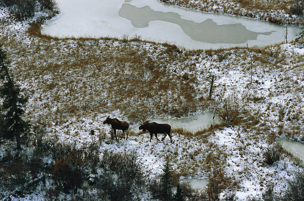 North America Print featuring the photograph Aerial Of A Male And Female Moose by Norbert Rosing