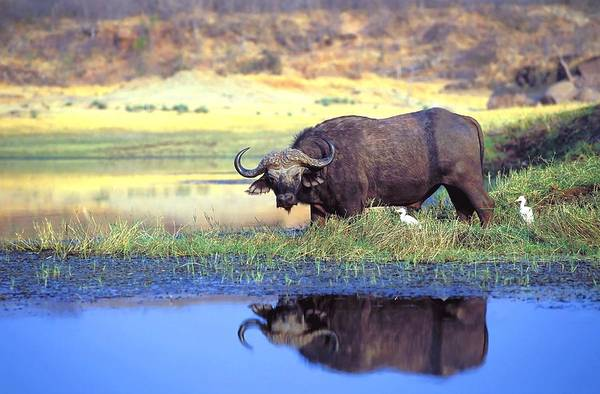 Outdoors Print featuring the photograph African Cape Buffalo, Photographed At by John Pitcher