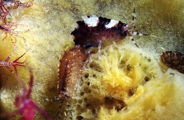 Gammarellus Sp. Art Print featuring the photograph Amphipods On A Sponge by Alexander Semenov