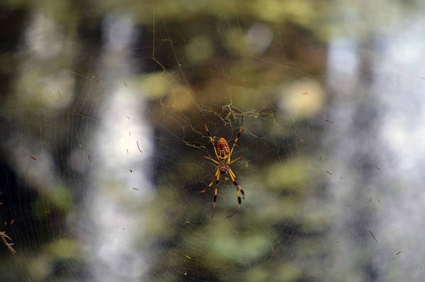Banana Spider Art Print featuring the photograph At Rest by Sarah Wojcik