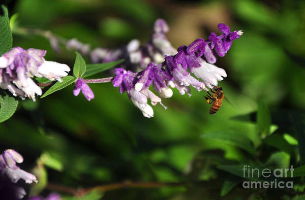 Photography Art Print featuring the photograph Bee On Flower by Kaye Menner