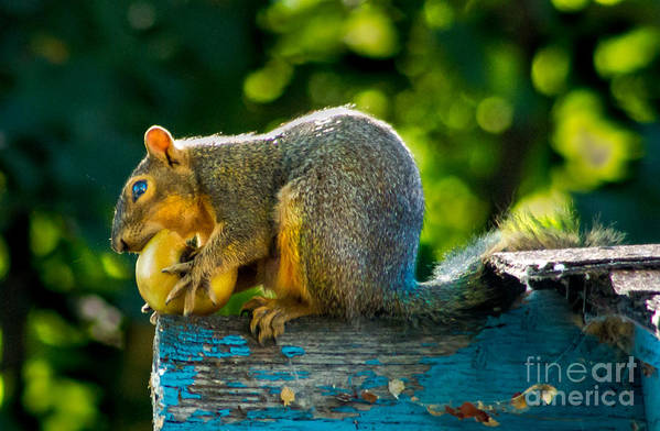 Squirrel Art Print featuring the photograph Big Apple by Robert Bales