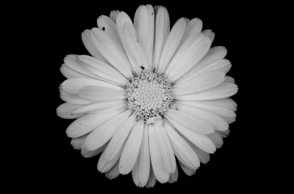 Calendula Art Print featuring the photograph Calendula Flower - Black And White by Laura Melis