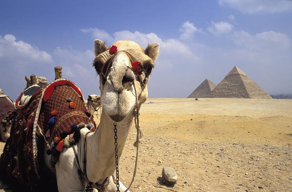 Animal Head Art Print featuring the photograph Camel In Giza Egypt by Axiom Photographic