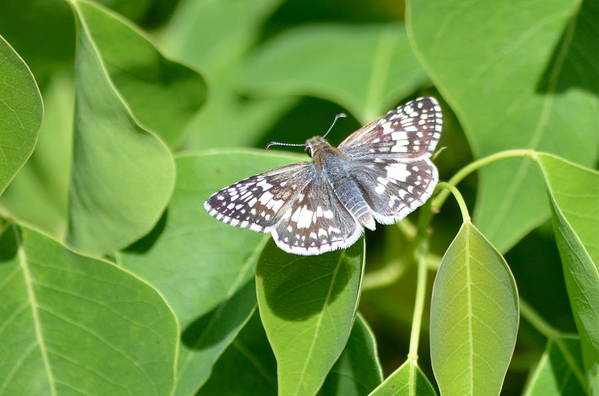 Butterfly Art Print featuring the photograph Checkered Skipper by Kathy Gibbons