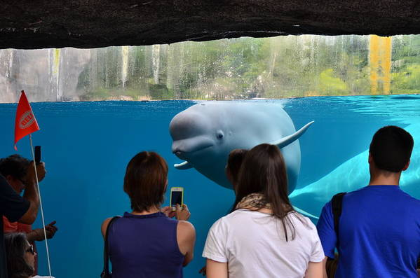 Beluga Whale At Mystic Ct Art Print featuring the photograph Checking Out Todays Crowd by William Hensler